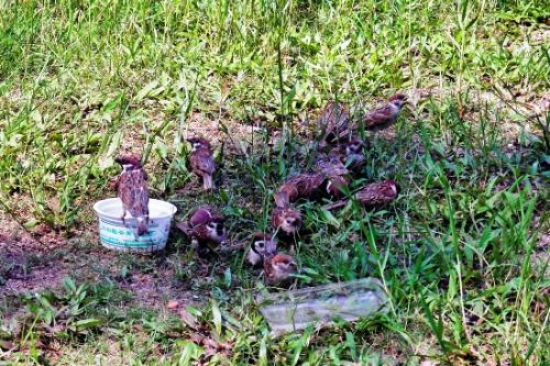grain sparrows pesticide jiangmen guangdong avian flu