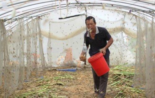locust farm guangdong jiangmen farmer