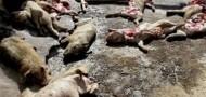 dead hogs